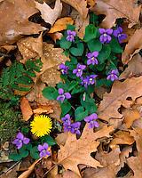 Blue Violets (Viola papilionacea) and Dandelion in bloom; Shenandoah National Park, Virginia