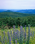Shenandoah National Park, VA:  Vipers bugloss (Echium vulgare) blooming at Rattlesnake Point in the Shenandoah Mountains in the distance