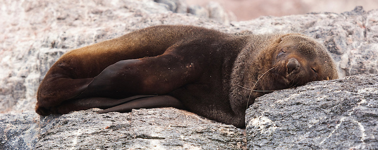 Antarctic fur seal (Arctocephalus gazella), sleeping at Gourdin Island, Antarctica