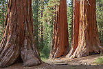 Giant Sequoias in the Mariposa Grove, Yosemite National Park, CA, USA