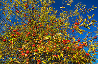 Apples add a splash of bright red to the turning color of an apple tree in autumn in a fallow orchard in Door County, Wisconsin