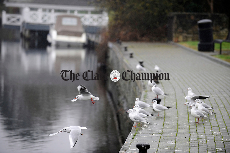 Birds on the river bank walk at Ballina, Killaloe. Photograph by John Kelly.