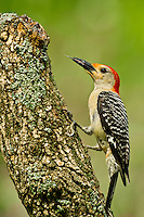 Red-Bellied Woodpecker.