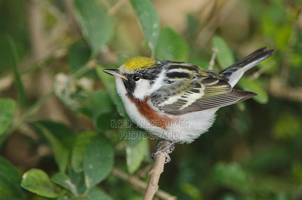 Chestnut-sided Warbler, Dendroica pensylvanica, male, South Padre Island, Texas, USA, May 2005