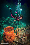 9 July 2013: SCUBA diver Sally Herschorn comes across a Barrel Sponge (Xestospongia muta) on Lexau's Legacy Reef off the North Shore of Grand Cayman Island.  Located in the British West Indies in the  Caribbean, the Cayman Islands are renowned for excellent scuba diving, snorkeling, beaches and banking.  Mandatory Credit: Ed Wolfstein Photo