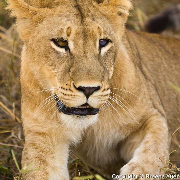 This lioness is blind in one eye, hence the blue eye.  This is due to  some kind of trauma related to the lost of some of her relatives due to poachers.  Okavango Delta, Botswana, March 2008