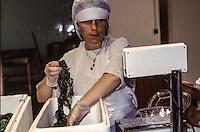 Francia - Bretagna - St Paul de Léon - raccolta delle alghe per uso alimentare - Ditta Algoplus France - Brittany - St Paul de Léon - harvesting algae for food use- lavorazione, lavaggio e inscatolamento