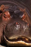 Sleeping hippopotamus.