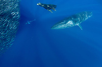 Bryde's whale, Balaenoptera brydei or Balaenoptera edeni, California sea lion, Zalophus californianus, and striped marlin, Kajikia audax, approach mixed baitball of sardines and Pacific chub mackerel or green mackerel Scomber japonicus, off Baja California, Mexico ( Eastern Pacific Ocean )