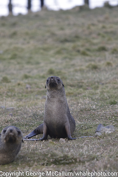 Antarctic Fur seal, Arctocephalus gazella , pups lying on grass at Gryviken whaling station South Orkney Islands, Scotia sea Southern Ocean, Antarctica