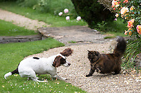 Confrontation fight between a playful Springer Spaniel dog and a wary frightened cat in a garden in England