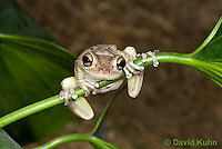 0201-0918  Cuban Treefrog (Cuban Tree Frog) on Plant Stem, Osteopilus septentrionalis  © David Kuhn/Dwight Kuhn Photography