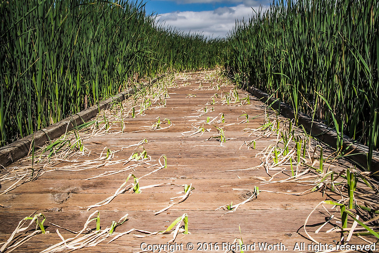 Vibrant leaves line the wooden boardwalk where some are finding  cracks in the boards to try climbing through in the marsh at Coyote Hills Regional Park, Fremont, California.