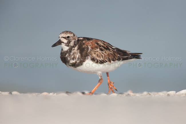 Ruddy Turnstone (Arenaria interpres), Fort Desoto Park, near St. Petersburg, Florida