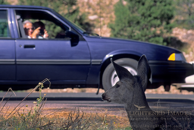 Tourists in cars looking at a White-tailed deer (Odocoileus virginianus) doe by the side of the road near Grand Canyon Village Grand Canyon National Park, ARIZONA