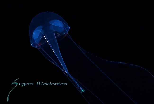 Liriope Jellyfish, Black Water diving, Pelagic marine life; planktonic creature; Off Riviera Beach, Fl, Gulfstream Current, South Atlantic Ocean.