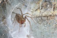 Winkelspinne, Trichterspinne, Hausspinne, Kellerspinne, in trichterförmigen Netz, Spinnennetz, Tegenaria spec., Eratigena spec.,  house spider, cobweb spider, Trichterspinnen, Agelenidae