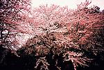 Sakura in Shinjyo, Yamagata, Japan...