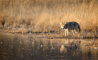 Hungry Coyote (Canis latrans) surveys the pond just after sunrise.  There was plenty of potential prey for him, but all the ducks, geese and cranes were smart enough to congregate in tbe deep water.  The Coyote soon made his way away from the pond.  Bosque del Apache National Wildlife Refuge, New Mexico.