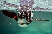 An african penguin in the water. <br /> Nine pairs of African Penguins, also known as the jackass penguin and black-footed penguin, were welcomed by Rome's biopark. <br /> Roma 27-12-2018 Bioparco <br /> Foto Andrea Staccioli / Insidefoto