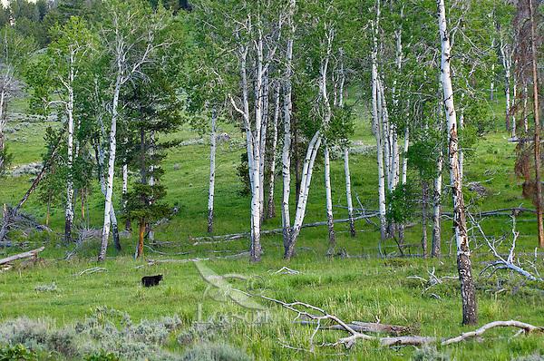 Wild, adult, Black Bear (Ursus americanus) aspen tree environment.  Western U.S., spring.