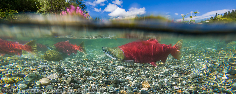 """Red salmon or """"sockeye"""" in spawning phase (red body and green head) in a small stream in the Alaska mountains."""