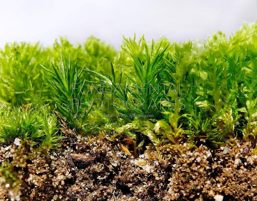 MOSS LIFE CYCLES<br /> Variations Available<br /> Moss Gametophyte<br /> Close-up of moss, a bryophyte plant, showing the green leafy gametophyte stage.