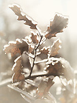 Frozen branch of oak tree with leaves covered with ice. Artistic abstract fall nature closeup.