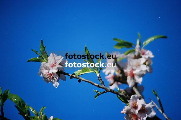 white almond blossoms against deep blue sky in Majorca<br /> <br /> almendro en flor con cielo azul en Mallorca<br /> <br /> wei&szlig;e Mandelbl&uuml;ten gegen tief blauen Himmel auf Mallorca<br /> <br /> bot.: Prunus dulcis / Prunus amygdalus<br /> <br /> 3360 x 2240 px<br /> Original: 35 mm