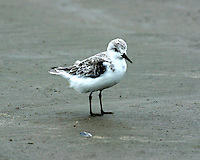 Adult sanderling in non-breeding plumage in winter