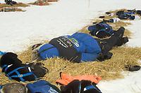 Martin Buser Naps on Straw w/Dogs @ Eagle Is Chkpt 2005 Iditarod