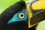 White-throated Toucan (Ramphastos tucanus) perched on a branch, Ecuador, South America