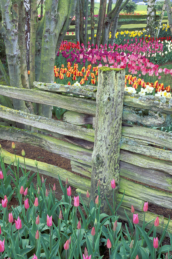 Tulips in display gardens, Mount Vernon, Skagit Valley, Washington