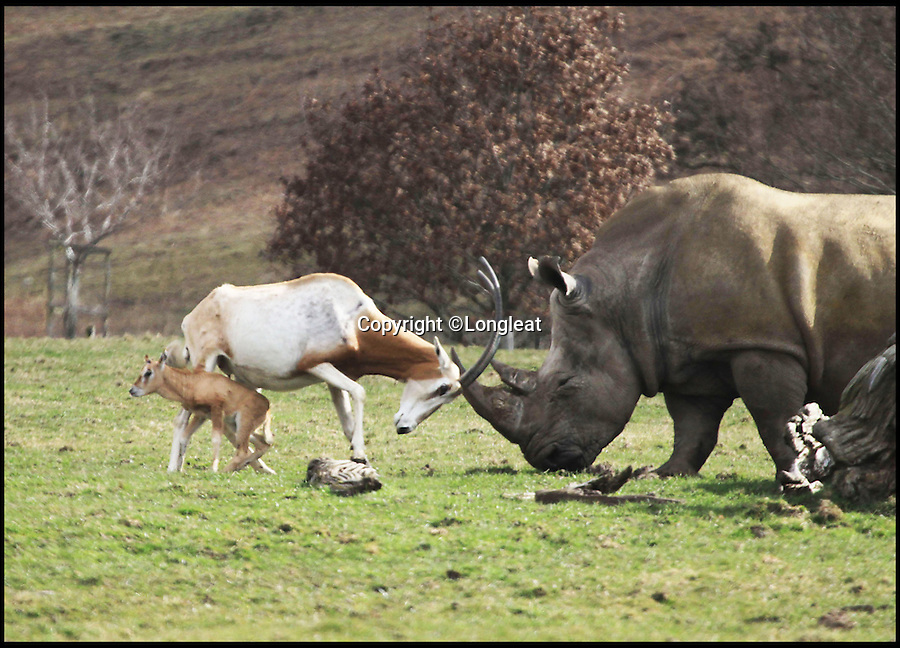 BNPS.co.uk (01202 558833)<br /> Pic: Longleat/BNPS<br /> <br /> *Please use full byline*<br /> <br /> Little and Large show...<br /> <br /> Hornes of a dilemma...despite the difference in size the mother goes head to head...<br /> <br /> This plucky mother antelope ignores the golden rule of 'pick on someone your own size' and squares up to a whopping rhinoceros in a bizarre stand-off.<br /> <br /> The brave mum refused to back down when the three-tonne beast came a little too close to her newborn calf - and at one point even clashed horns with it.<br /> <br /> The protective mother antelope, called Ramina, kept her days-old baby Phoenix behind her at all times as she valiantly charged at the massive rhino, called Njanu, despite it being 15 times heavier.<br /> <br /> The unlikely scene was caught on camera by staff at Longleat Safari Park in Wilts.