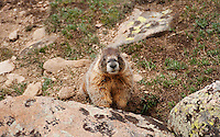 A yellow-bellied marmot or Marmota flaviventris on The Ute Trail off Trail Ridge Road in Rocky Mountain National Park, in Colorado, Saturday, July 2, 2011. The elevation at the Ute Trail is 11466 feet...Photo by Matt Nager
