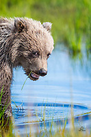 Spring Brown Bear (Ursus arctos) cub follows her mother across a pool created by heavy rains.  Silver Salmon Creek, Lake Clark National Park, Alaska.