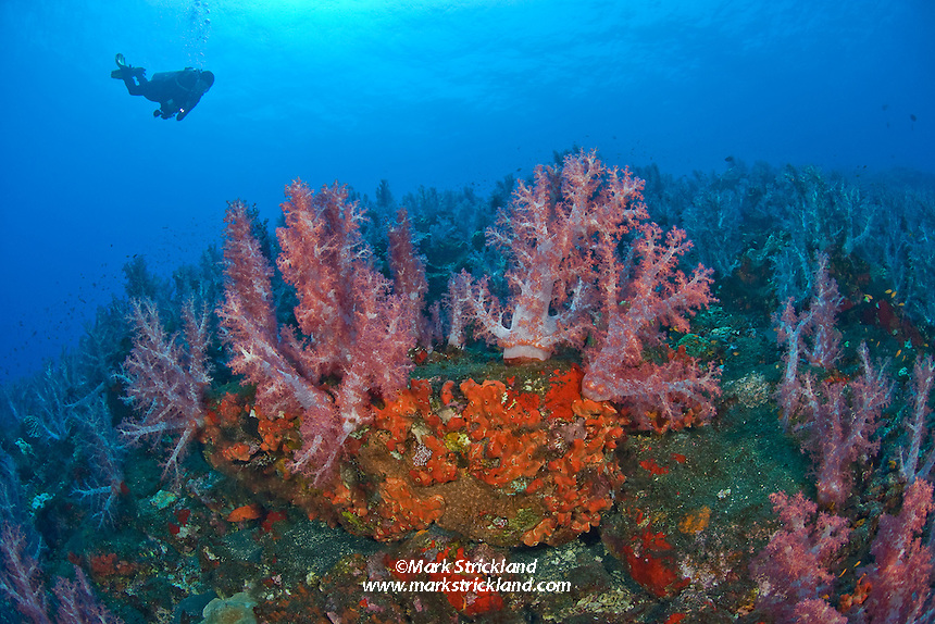 A diver swims above vast undersea garden of encrusting sponge and soft corals, Dendronepthya sp. Barren Island, Andaman Islands, India, Andaman Sea