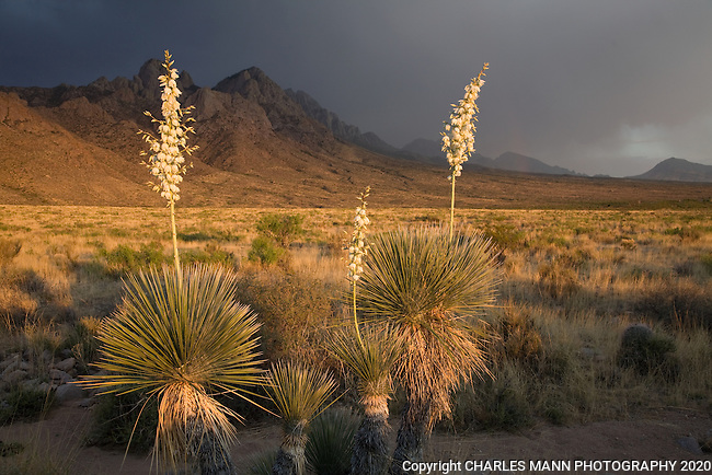 A cluster of white flowered Yucca elata plants stand in contrast to the rugged Organ Mountains at sunset near Las Cruces, New Mexico in late May.