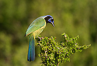 551110061 a wild green jay cyanocorax yncas perches in a plant on dos venadas ranch starr county texas united states