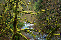 Seasonal waterfasll into Moffett Creek with moss covered trees. Columbia River Gorge National Scenic Area, Oregon