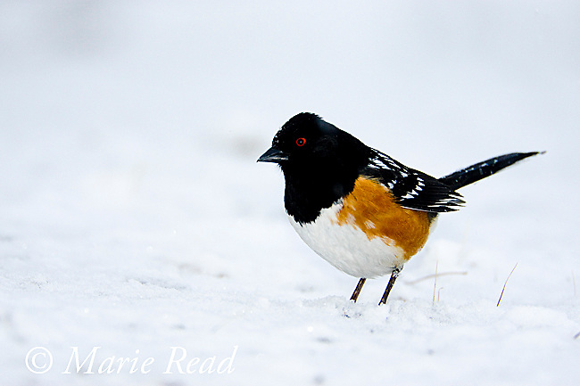 Spotted Towhee (Pipilo maculatus), male perched on the ground amid snowy surroundings, Mono Basin, California, USA