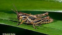 """OR01-044z   Grasshopper Nymph - short horned or """"true"""" grasshopper, two-striped grasshopper - Melanoplus spp."""