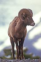 Bighorn Ram in Jasper National Park, Alberta, Canada