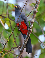 Female black-tailed trogon