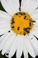 Rapsglanzkäfer, Raps-Glanzkäfer, Glanzkäfer, Rapskäfer als Blütenbesucher, Rapsglanz-Käfer, Meligethes aeneus, Brassicogethes aeneus, pollen beetle, Glanzkäfer, Nitidulidae