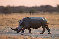 Bull Rhinoceros covered in mud flicking its tail