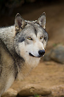694920019 a captive male gray wolf dakota canis lupus at the wildlife waystation wildlife recovery and care facility in southern california