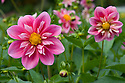Dahlia 'Edith Jones', early September.
