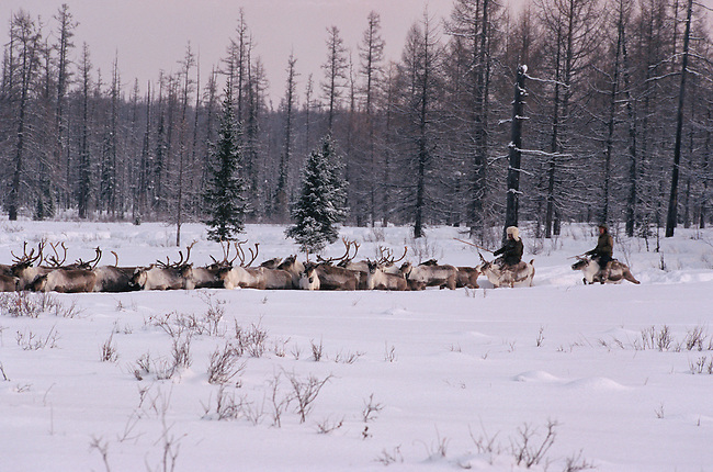 Evenk herders driving their reindeer through deep snow at their winter pastures. Evenkiya, Siberia, Russia