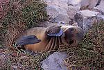 Galapagos Sea Lion - Zalophus californianus wollebacki.Galapagos Islands, Ecuador  .Sealion juvenile pup
